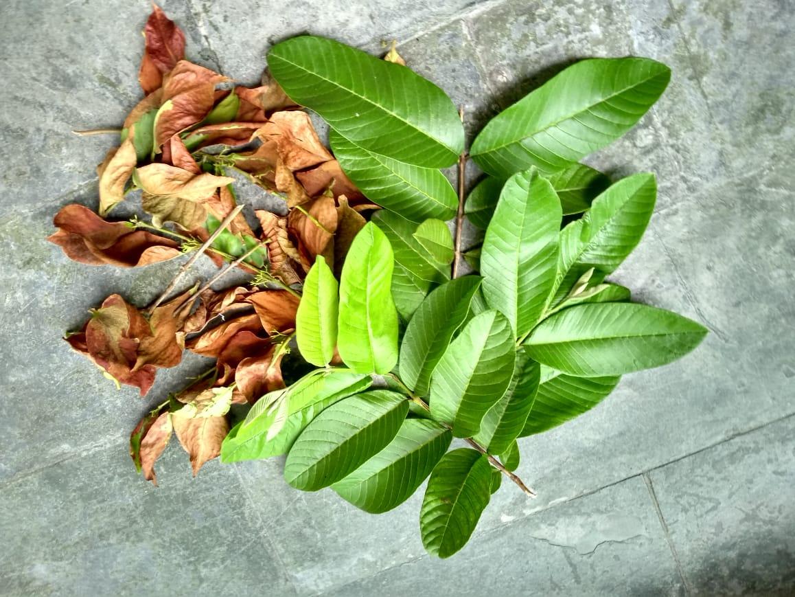 Folhas Secas ou Frescas e Outras Partes de Plantas Para Chás